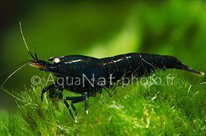 Caridina sp Black Tiger Yellow eyes