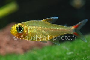 Characidae sp