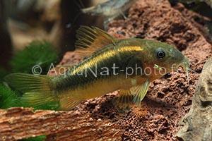 Corydoras gold green