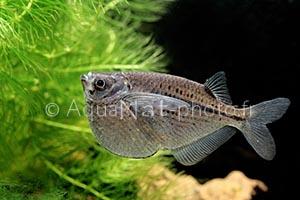 Gasteropelecus_maculatus