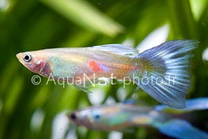 Guppy Blue