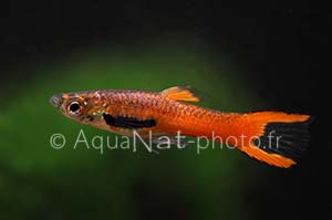 Guppy endler Scarlet