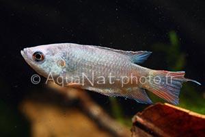 Macropodus opercularis Silver