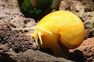 Pomacea diffusa Gold