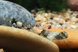 Schismatogobius ampluvucinlus-2
