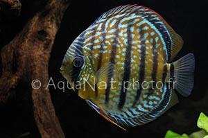 Symphysodon aequifasciatus Gipsy blue