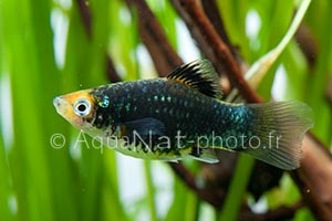 Xiphophorus maculatus Black