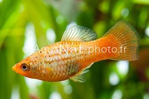 Xiphophorus variatus Orange