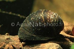 Neripteron violacea