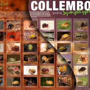 Duo Posters Collemboles – Coll. N°1 & N°2 Format A2