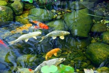 Acidity alkalinity and ph levels in ponds aquaplancton for Algae eating fish for ponds
