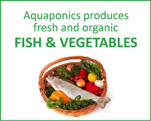 aquaponic produces fresh and organic fish and vegetables
