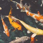 Koi Fish Aquaponics