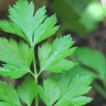 parsley plant for aquaponics