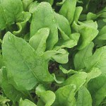 spinach plant for aquaponics