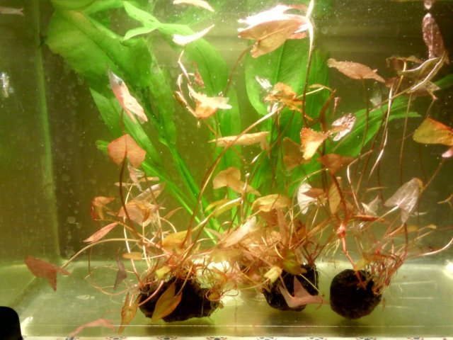 Buy Aquarium Plants
