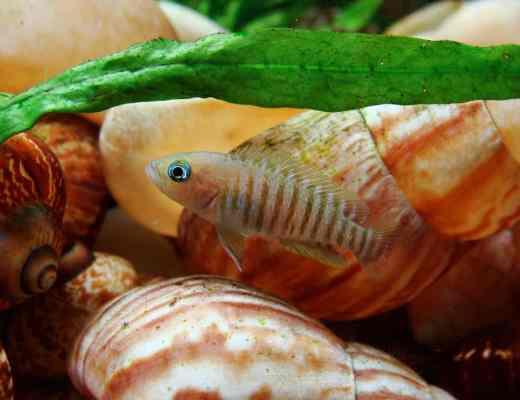 peaceful dwarf cichlids