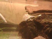 His new baby razorback musk turtle, Bic