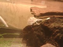 His new baby razorback musk turtle, Bic
