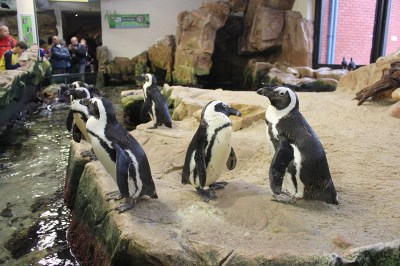 Educate Yourself About The Vulnerable African Penguin Species