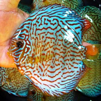 Blue Tiger Carnation Turquoise Discus