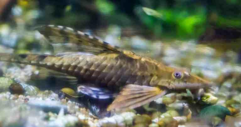 Twig Catfish on floor of aquarium