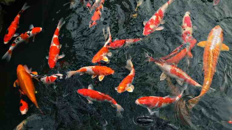 Koi swimming in pond with clear water due to koi pond filter