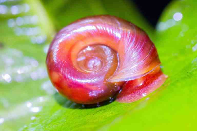 Red ramshorn snails on aquarium plant