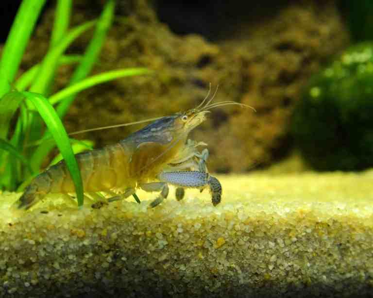 Vampire shrimp in an aquarium tank
