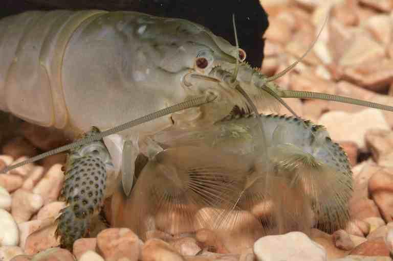 Vampire shrimp with its feeding fans