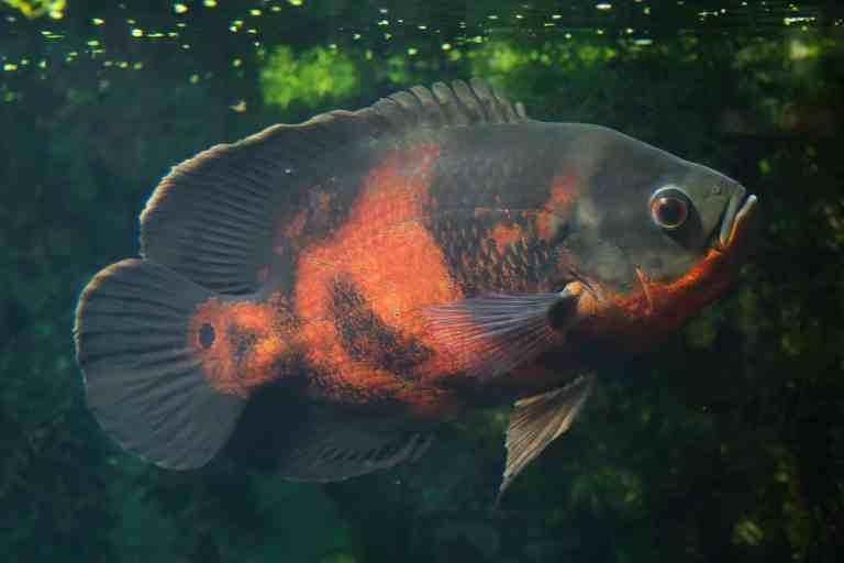 Oscar fish with beautiful orange color