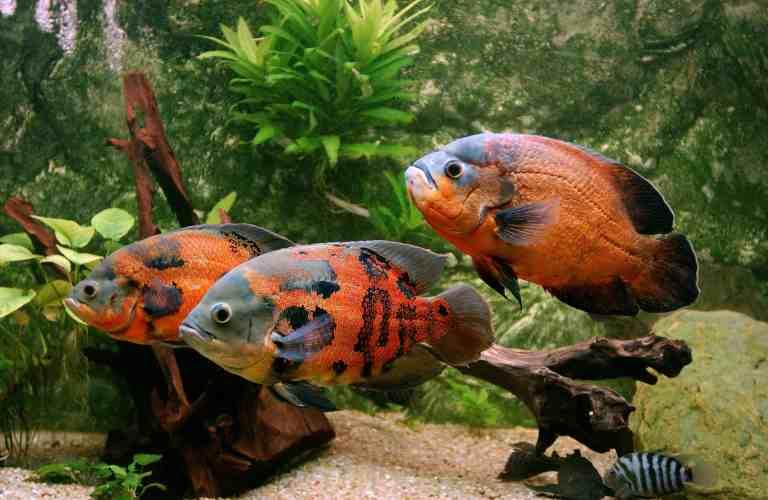 three oscar fish in aquarium