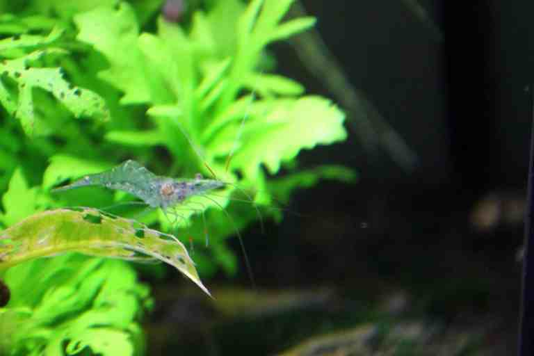 ghost shrimp in planted tank