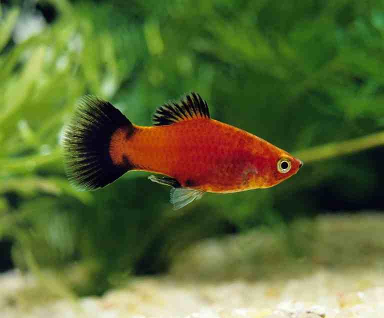 platy fish in aquarium