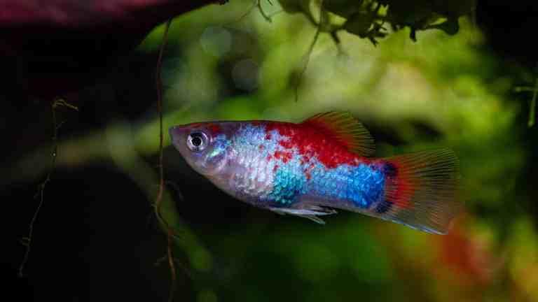 rainbow platy fish in planted tank