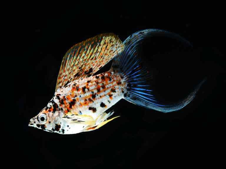 molly fish swimming in tank