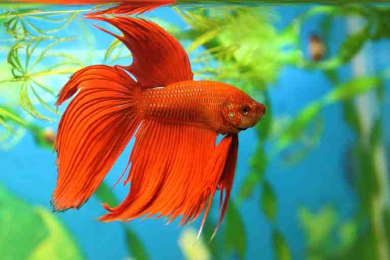 Betta swimming in self-cleaning fish tank