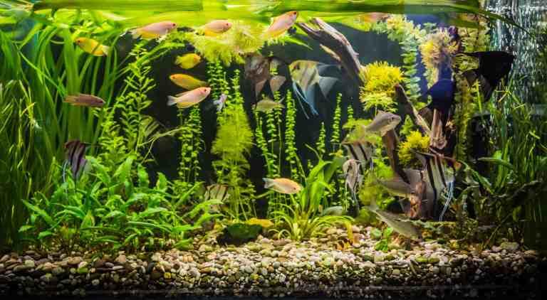 freshwater planted tank using aquarium chiller