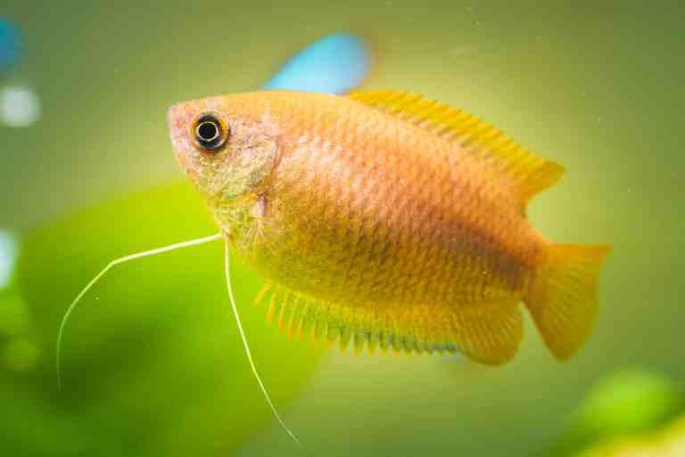 Honey gourami swimming in tank