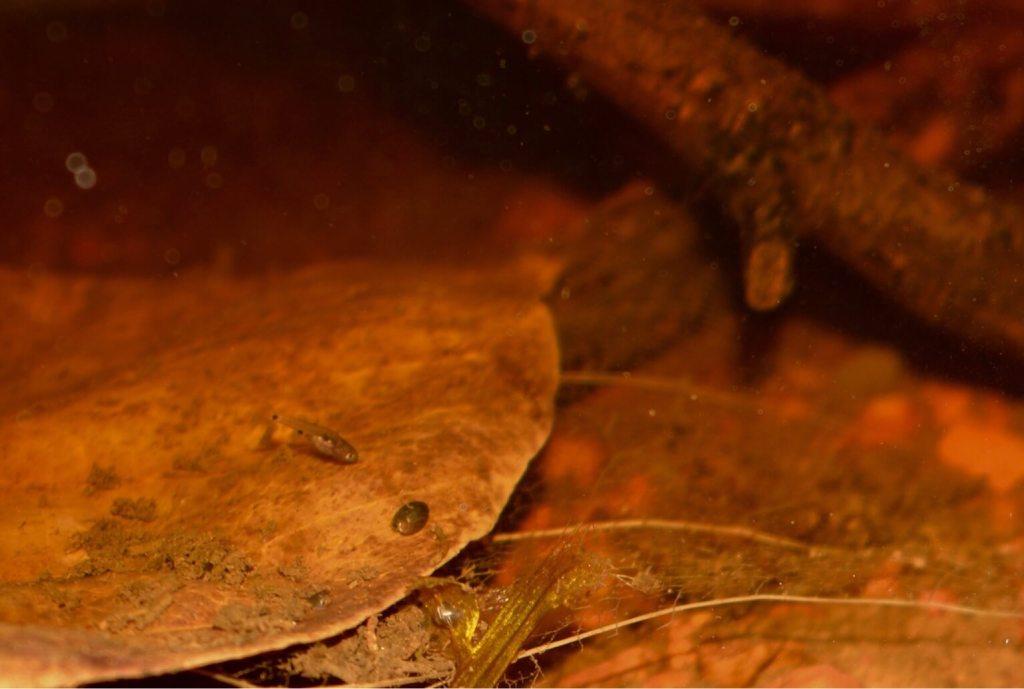Indian Almond Leaves - Blackwater Aquarium
