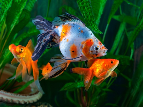 Goldfish types