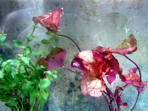 Zenkeri Tiger Lotus Nymphaea bulb plant