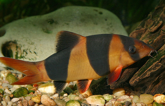 Taming Clown Loach