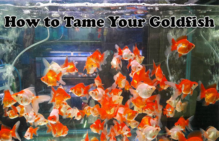 How to tame your Goldfish
