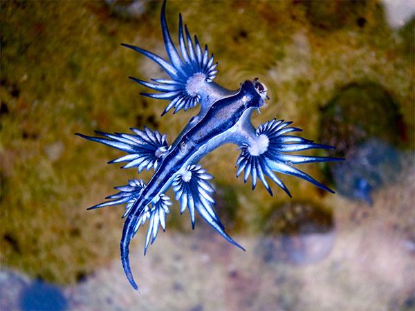Blue dragon glaucus atlanticus