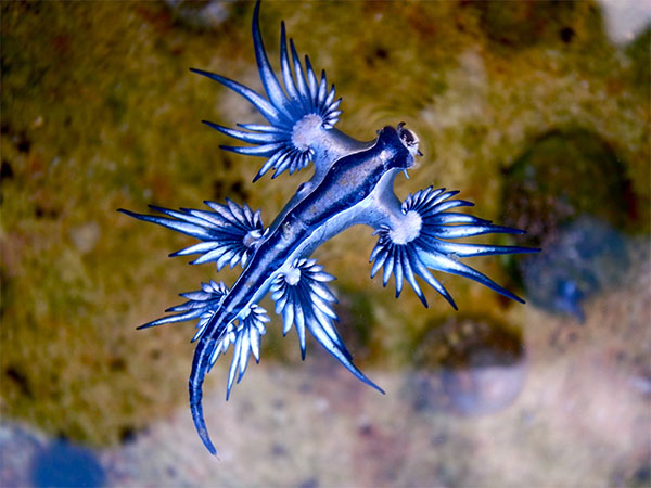 Blue dragon glaucus atlanticus