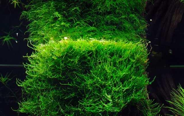 speed up java moss growth