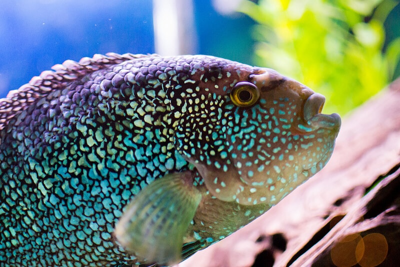 Jack dempsey cichlid fish beginner friendly guide for Jack dempsy fish
