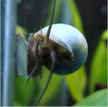 blue apple snail