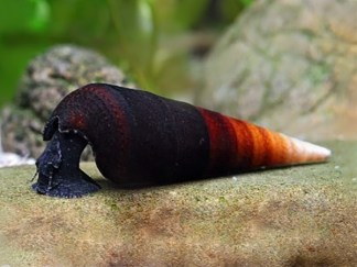 capuccino spike snail